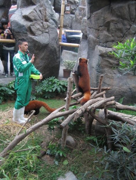 Red Pandas In Ocean Park Bluebalu Living In Hong Kong