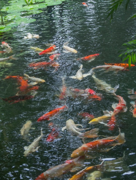 Bangkok Jim Thompson House 4 Goldfish