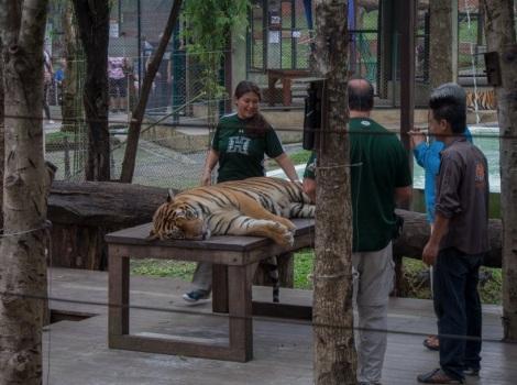 Chiang Mai Tiger Kingdom 2