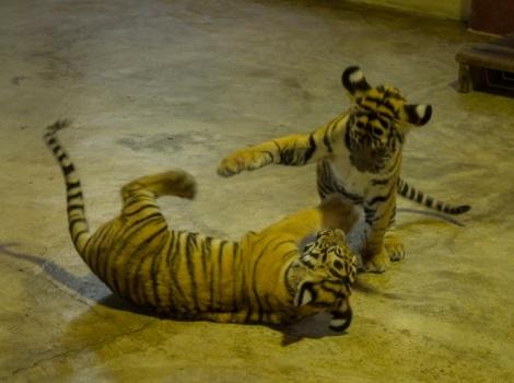 Chiang Mai Tiger Kingdom 4