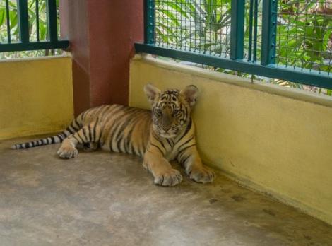 Chiang Mai Tiger Kingdom 8