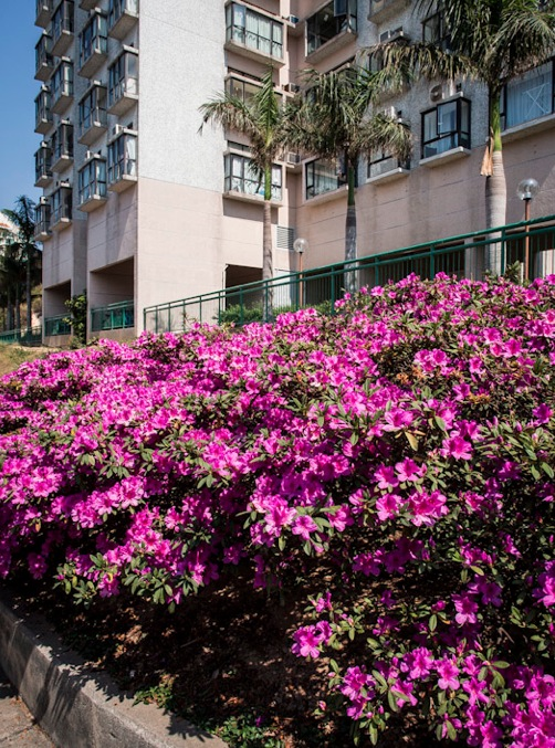 Pink flowers in Discovery Bay 2
