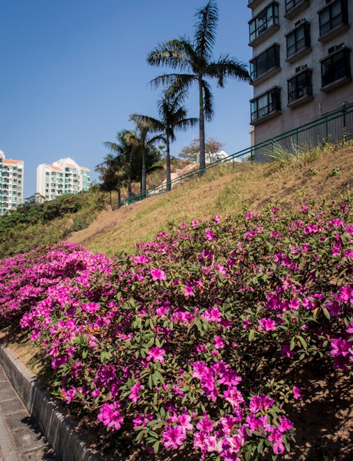 Pink flowers in Discovery Bay 3