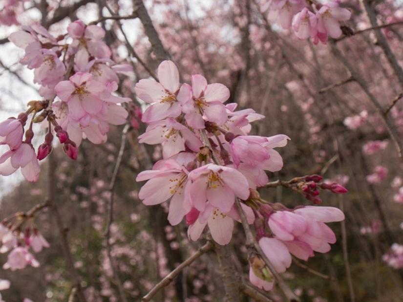 5 - Sakura