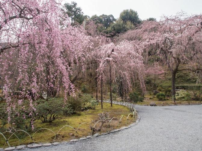 Sakura 1