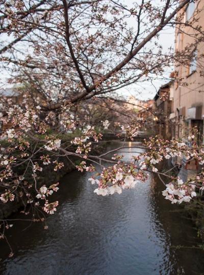 Sakura in Gion Kyoto 1