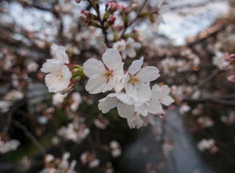 Sakura in Gion Kyoto 2