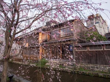 Sakura in Gion Kyoto 3