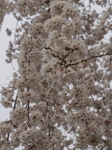 Sakura in Nijo Castle Kyoto 1