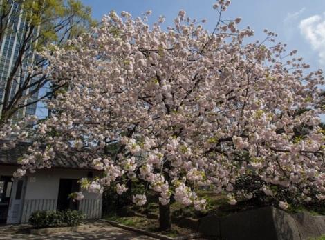 Sakura in Tokyo 1