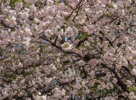 Sakura in Tokyo 3