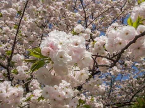 Sakura in Tokyo 4