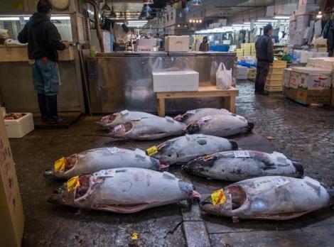 Tuna at Tsukiji FIsh Market 1