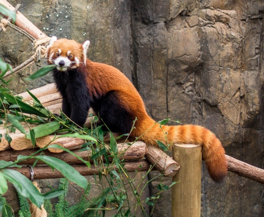 Ocean Park 2014-12 Red Panda