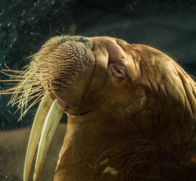 Ocean Park 2014-8 Walross