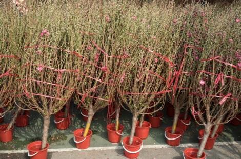 Victoria Lunar Flower Market 2015-9 Plum Trees