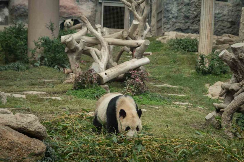 2 - Macau Giant Panda - Jan 2019