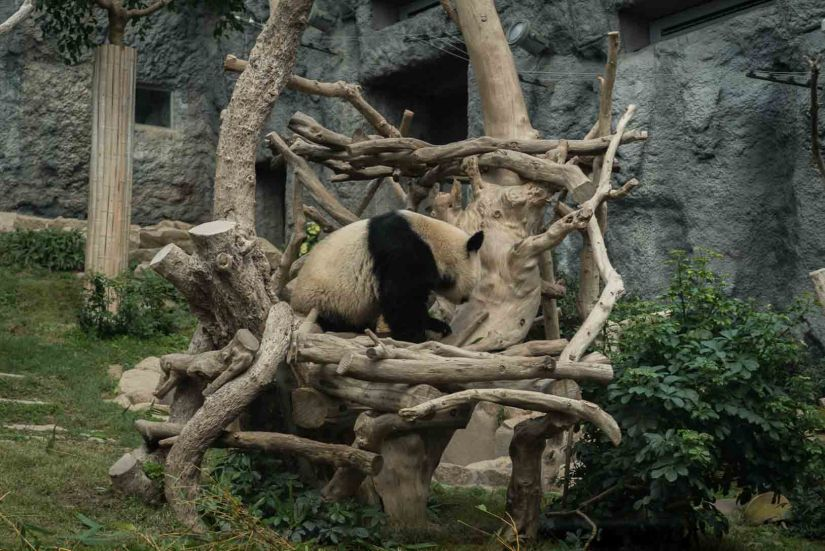 3 - Macau Giant Panda - Jan 2019
